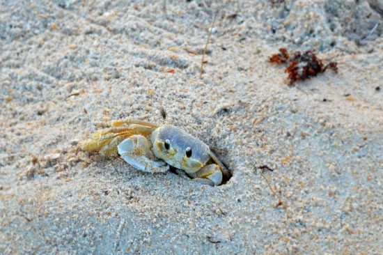 Hey Hey Crab